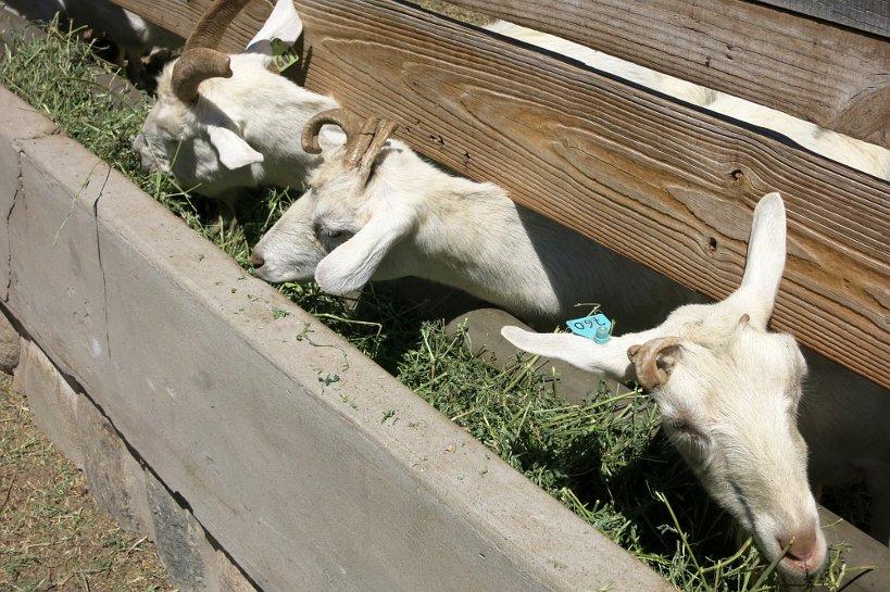 Goat Eating at Goat Farm Cabras de Cafayate Authentic Food Quest