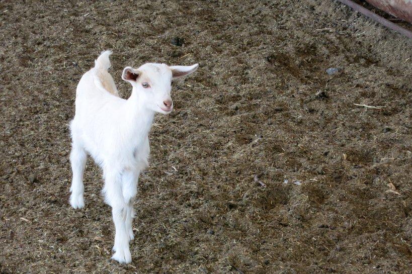 Goat Farm Baby Goat Cabras de Cafayate Authentic Food Quest