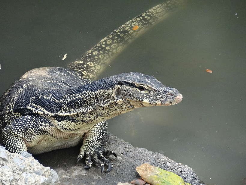 Monitor Lizard running in Bangkok by Authentic Food Quest