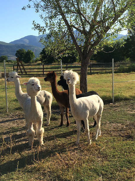 Llamas at Villa Yustina Bulgaria by Authentic Food Quest