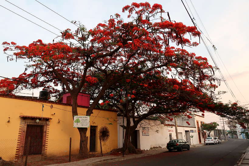 Guaje Tree Oaxaca Mexico by Authentic Food Quest