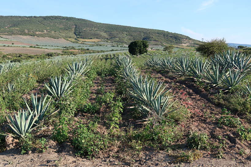Agave Field on Oaxaca Mezcal Tour by Authentic Food Quest