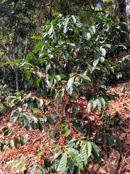Coffee plant with red beans for Oaxaca Coffee by Authentic Food Quest