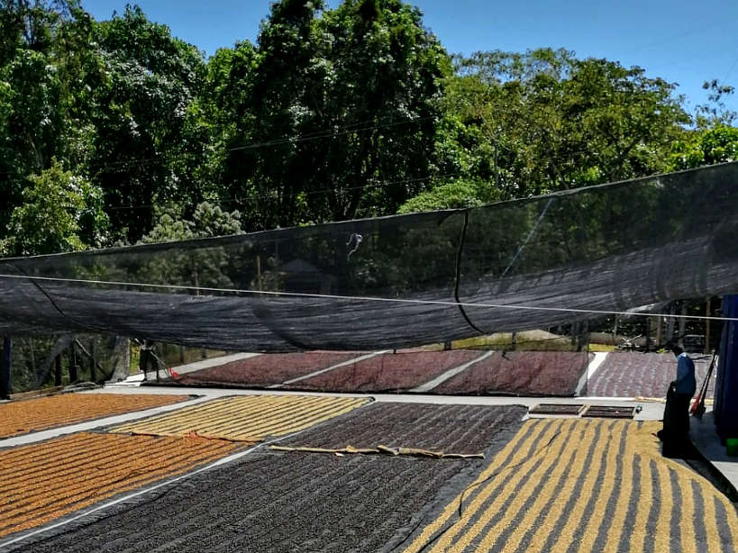 Mexican Coffee beans Drying at Finca Chelin Oaxaca Mexico by AuthenticFoodQuest
