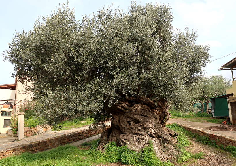 Vouves Olive Tree by Authentic Food Quest For Terra Creta