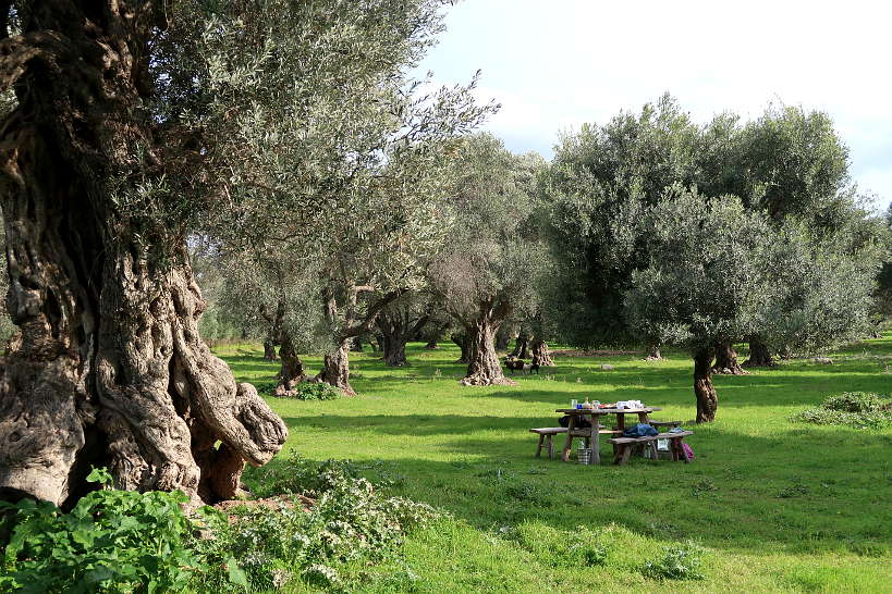 Ancient olive grove Chania Crete by Authentic Food Quest