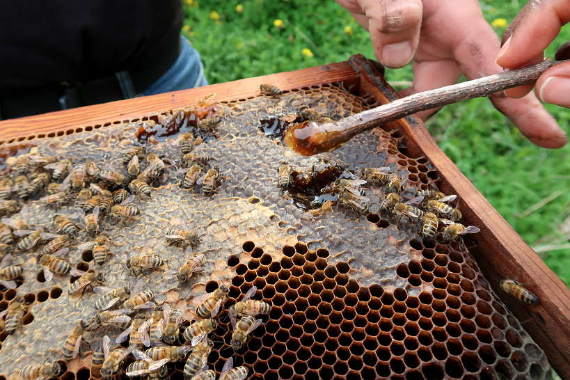 Tasting Thyme honey from the bee hives by Authentic Food Quest