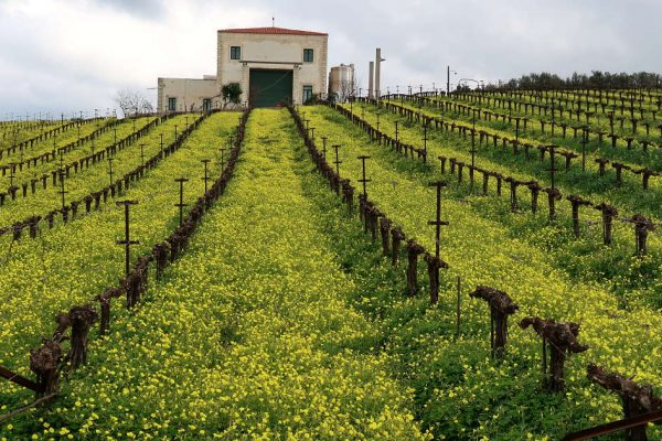 Vineyard at Loupakis Winery Crete by AuthenticFoodQuest