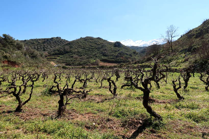 Vineyard at winery Crete by Authentic Food Quest