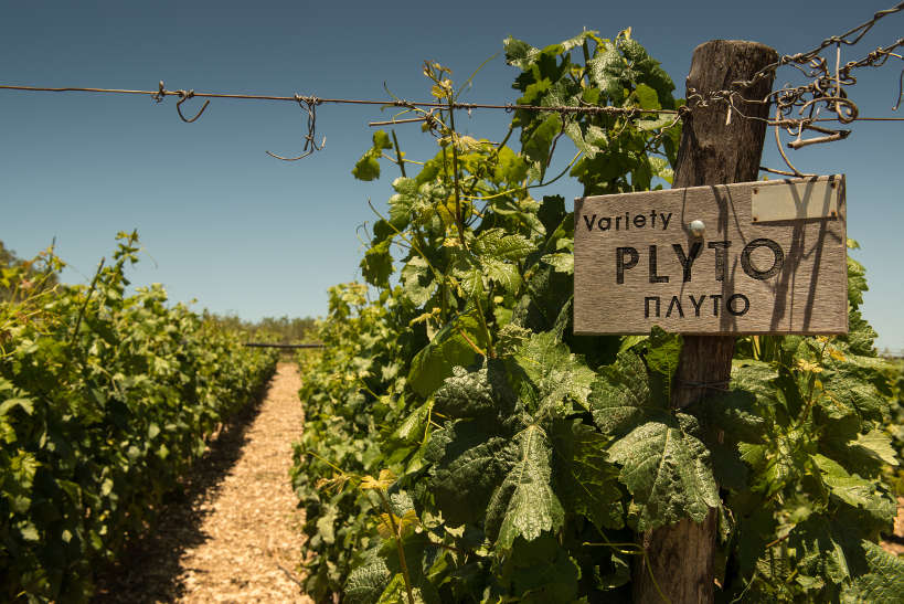 Vineyard with Plyto Sign at Lyrarakis Winery Crete by AuthenticFoodQuest