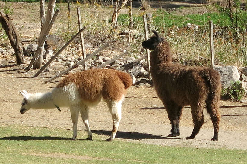 Llamas in Argentina by AuthenticFoodQuest